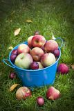 Apple colhe foto de stock royalty free