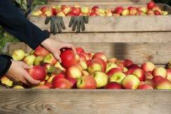 Apple colhe Fotografia de Stock