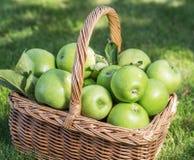 Apple colhe maçãs verdes maduras na cesta nos gras verdes Foto de Stock Royalty Free