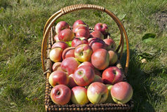 Apple colhe na luz solar Fotografia de Stock Royalty Free