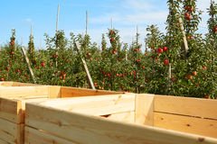 Apple colhe no país, Fotos de Stock Royalty Free