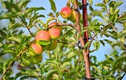 Apple coltiva fotografia stock libera da diritti