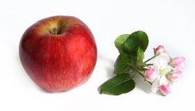Apple com flores da maçã Imagens de Stock