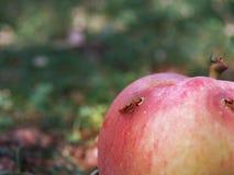 Apple con el gusano Foto de archivo libre de regalías