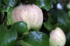 Apple con gotas Fotos de archivo