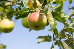 Apple con i fogli Fotografia Stock