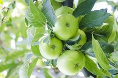 Apple con las hojas que crecen en el árbol Imagen de archivo