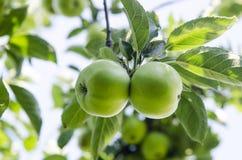 Apple con las hojas que crecen en el árbol Imagenes de archivo