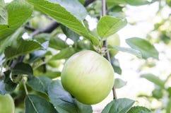 Apple con las hojas que crecen en el árbol Foto de archivo libre de regalías