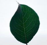 Apple copre di foglie Fotografie Stock Libere da Diritti