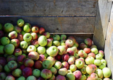 Apple Crate. Image of fresh apples in a wooden crate Royalty Free Stock Photos