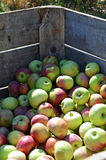 Apple Crate. Image of freshly picked apples in a wooden crate Royalty Free Stock Photo