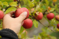Apple crop. Ripe red apples on a fruit tree Stock Photos