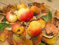 Apple crop royalty free stock photo