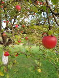 Apple crop in autumn. Ripe apples on a full appletree royalty free stock photo
