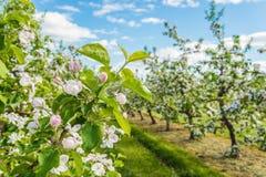 Apple cultiva un huerto ascendente cercano del flor Foto de archivo libre de regalías