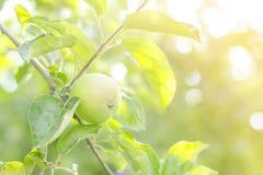 Apple cultiva un huerto en un día de verano soleado fotos de archivo