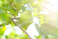 Apple cultiva un huerto en un día de verano soleado imagenes de archivo
