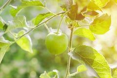 Apple cultiva un huerto en un día de verano soleado Imagen de archivo libre de regalías