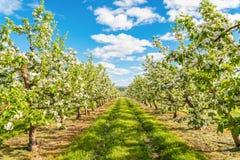 Apple cultiva un huerto flor Imágenes de archivo libres de regalías