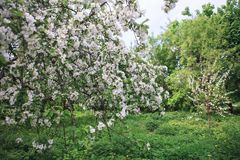 Apple cultiva un huerto floreciendo en la primavera Fotografía de archivo libre de regalías