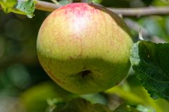 An apple a day keeps the doctor away. A natural apple tree ripening in a home garden, it is just getting its red blush royalty free stock photography