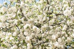 Apple-de achtergrond van de boombloesem Bloemen royalty-vrije stock foto's