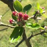Apple-de bloem kan binnen Royalty-vrije Stock Afbeeldingen