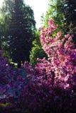 Apple-de boom kijkt als mooie sakura, bloemen stock afbeelding