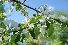 Apple-de boom vertakt zich de witte wolken van de bloemen blauwe hemel stock fotografie