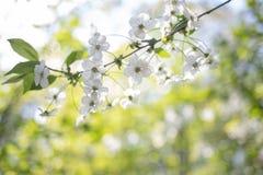 Apple-de boombloem op aardachtergrond, de lente bloeit, warme Zonnige dag stock afbeeldingen