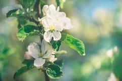 Apple-de boomtak met witte bloemen in de lente tuiniert dicht omhoog Concept het wekken van aard royalty-vrije stock foto