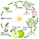 Apple-de cyclus van het boomleven op witte achtergrond wordt geïsoleerd die vector illustratie