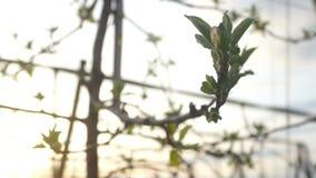 Apple-de zomer van boominstallaties stock footage