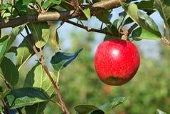 Apple, der von einem Baum hängt. stockfoto