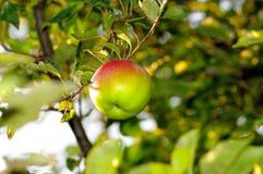 Apple di colore rosso sulla filiale. Fotografia Stock Libera da Diritti