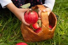 Apple di raccolta stagionale Fotografia Stock