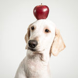 Apple on dog head Royalty Free Stock Photos