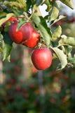 Apple (domestica del Malus) Imágenes de archivo libres de regalías
