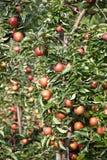 Apple (domestica del Malus) Fotos de archivo libres de regalías