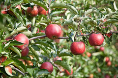 Apple (domestica del Malus) Fotografía de archivo