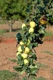 Apple - domestica del Malus Foto de archivo libre de regalías