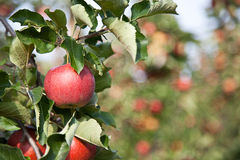 Apple (domestica Malus) Στοκ Φωτογραφίες