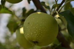 Apple droppar av dagg Royaltyfri Foto