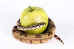 Apple e serpente. Fotografia de Stock Royalty Free
