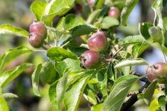 The apple is eaten Stock Photo