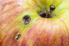 Apple. Eaten by a worm stock photography