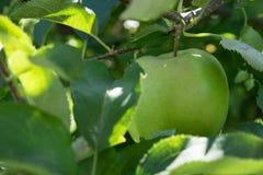 Apple in een appelboom Stock Foto
