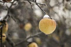 Apple an einem eisigen Tag im Frost und im Schnee Lizenzfreie Stockbilder