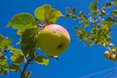 Apple em um ramo no fundo do céu Fotografia de Stock